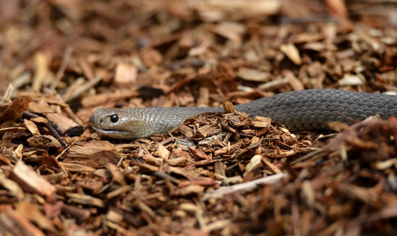 An eastern brown snake