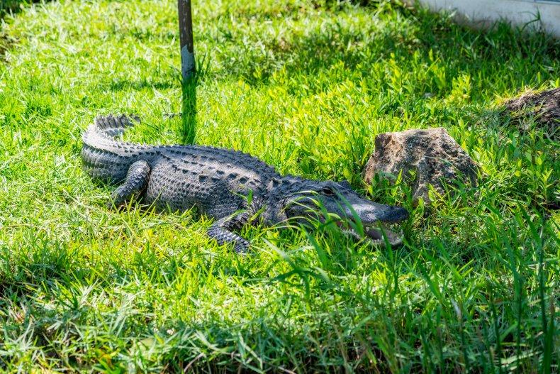 Wild alligator in the Everglades National Park