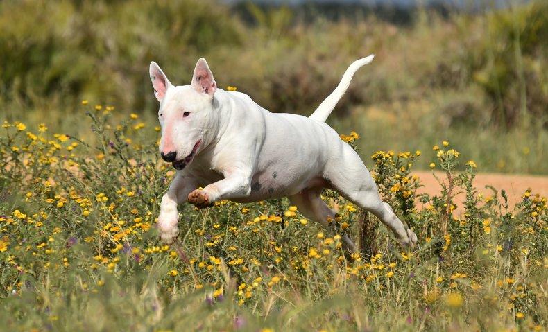 Rocky bull terrier hero dog fire save