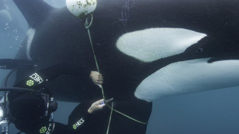 Orca Entangled in a Buoy Line