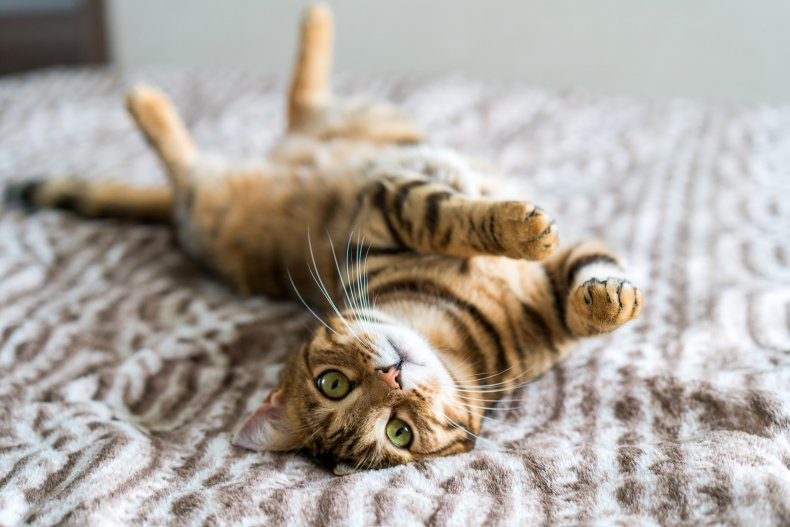 Stock image of a Bengal cat playing