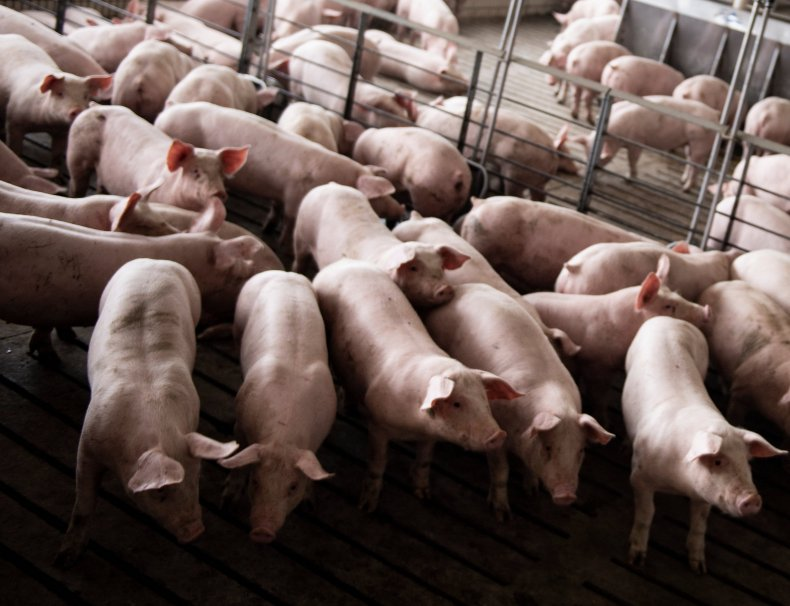 A pig farm in Illinois