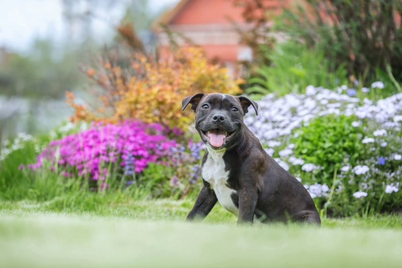 A Staffordshire bull terrier puppy