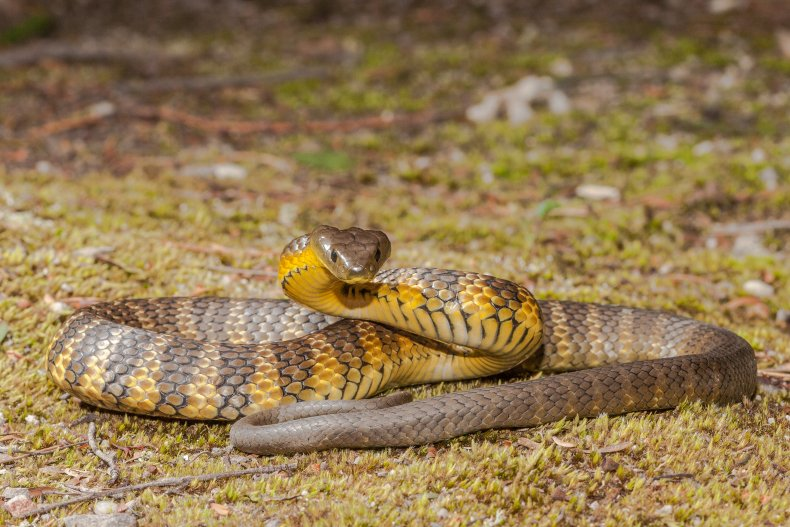 A tiger snake preparing to defend itself