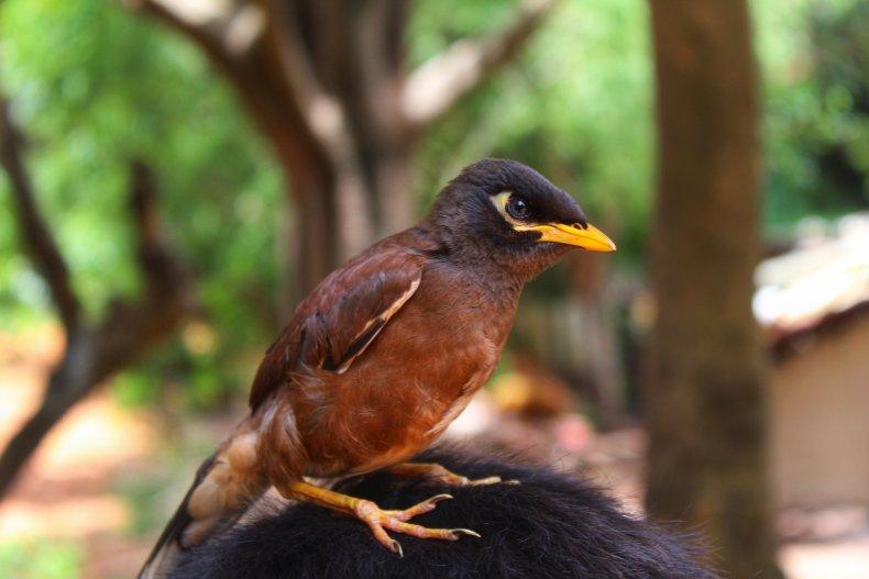 Stock image of a Mynah bird