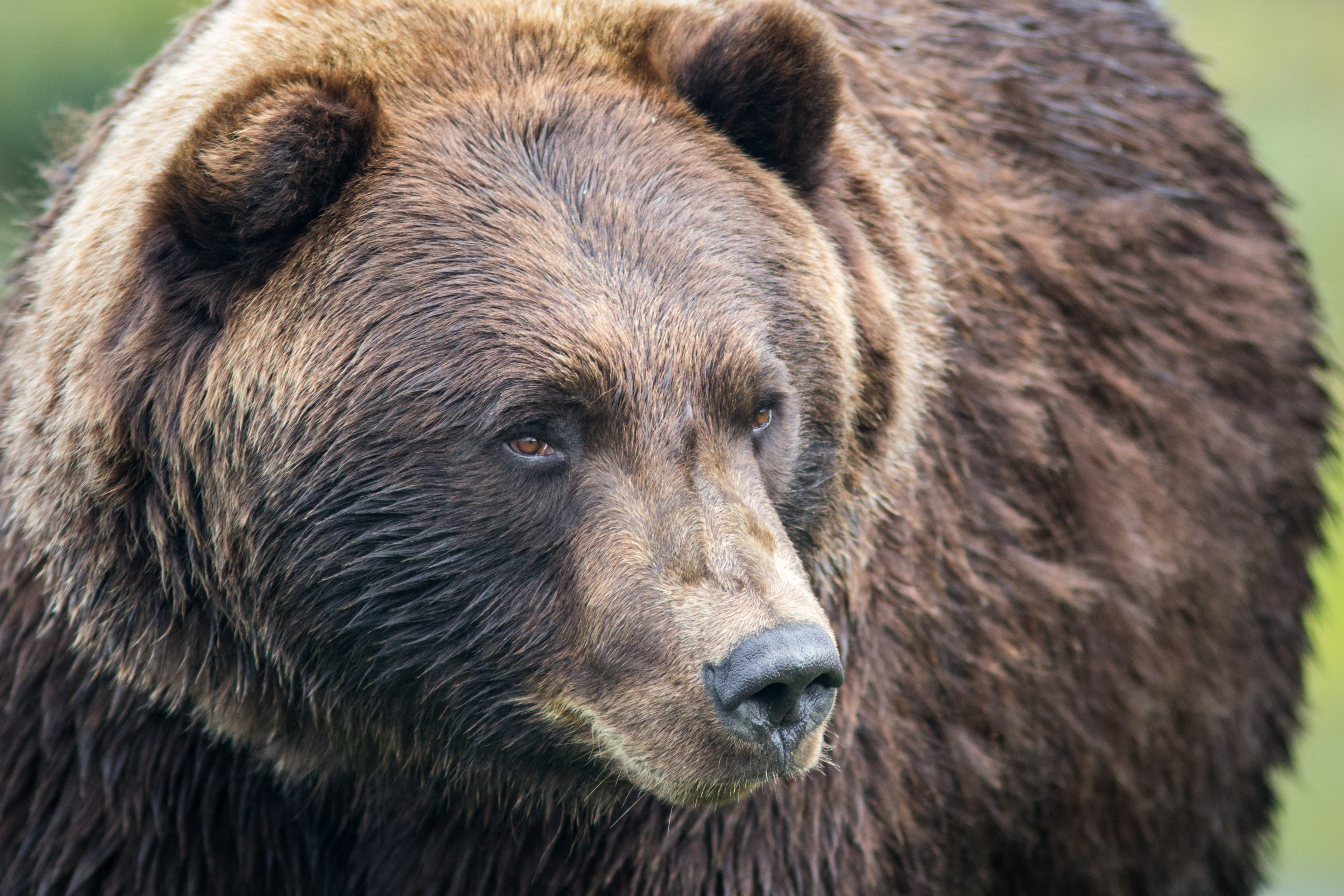 Grizzly Bear That Attacked Man Near Yellowstone 'Chomped Up' Victim's Hand