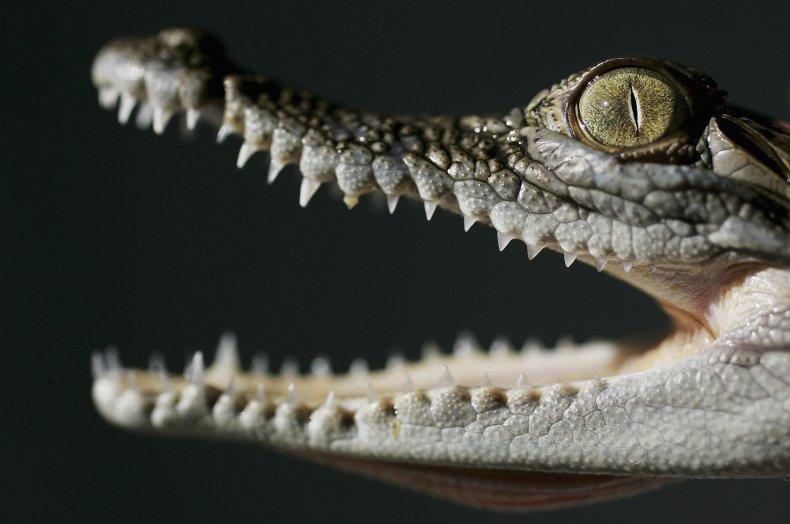 Juvenile Saltwater Crocodile