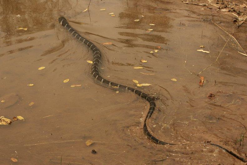 king cobra swimming through river