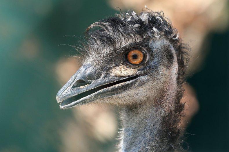 An emu at an animal refuge center