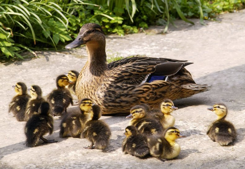 a dozen ducklings with mother duck