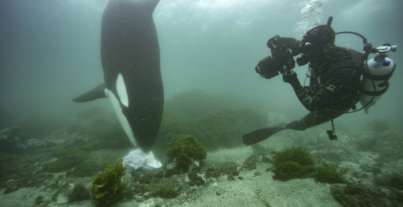 An orca eating a ray