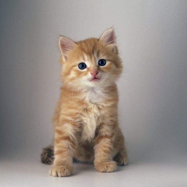 orange and white kitten