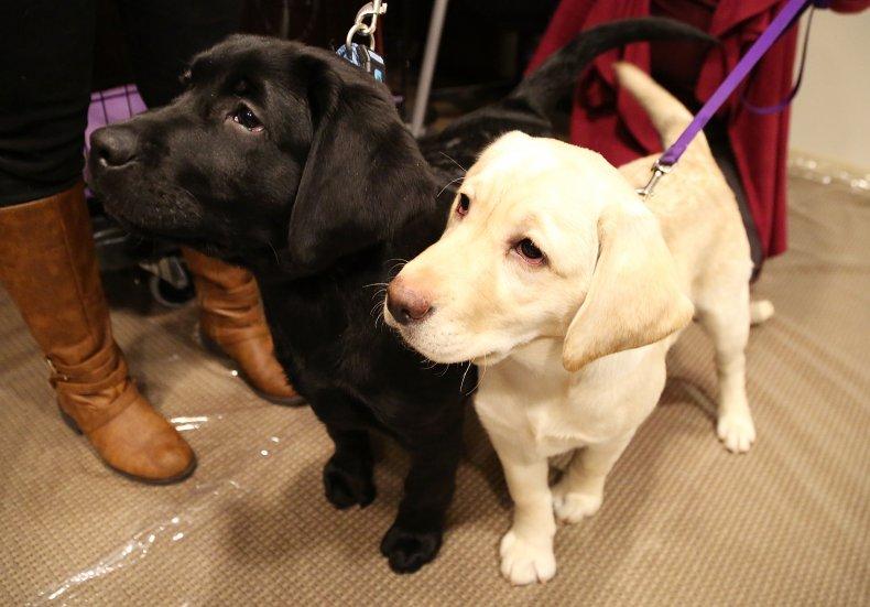Labrador retrievers 2015 American Kennel Club event