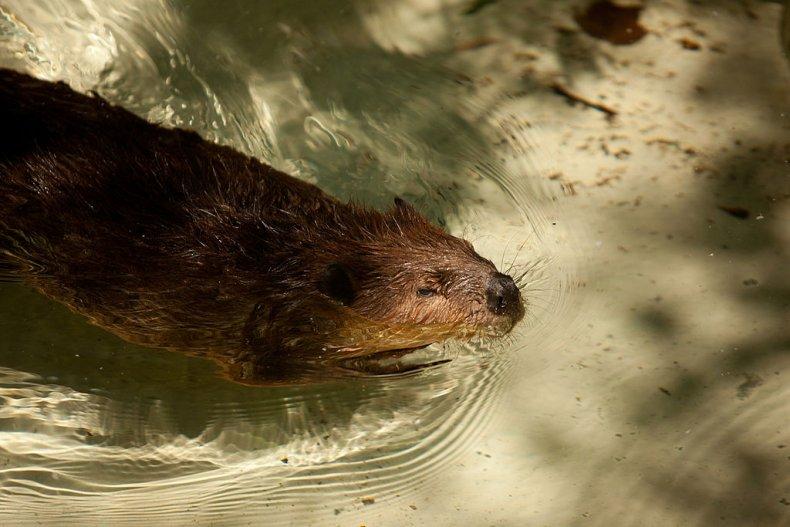 Beaver swimming in North America