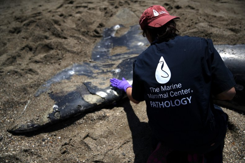 Whale researcher by dead whale