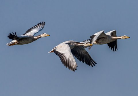 CUL_Map_Migrations_The bar-headed goose