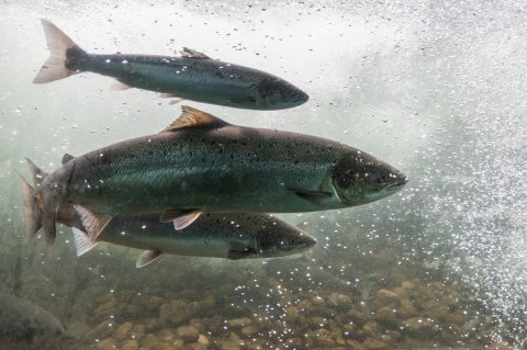 CUL_Map_Migrations_ Salmon