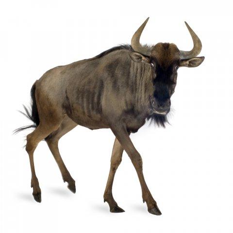 CUL_Map_Migrations_ Wildebeest