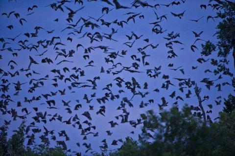 CUL_Map_Migrations_Straw-coloured Fruit Bats