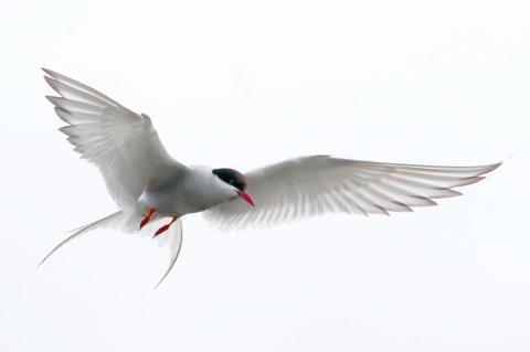CUL_Map_Migrations_arctic tern