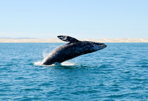 CUL_Map_Migrations_gray whale