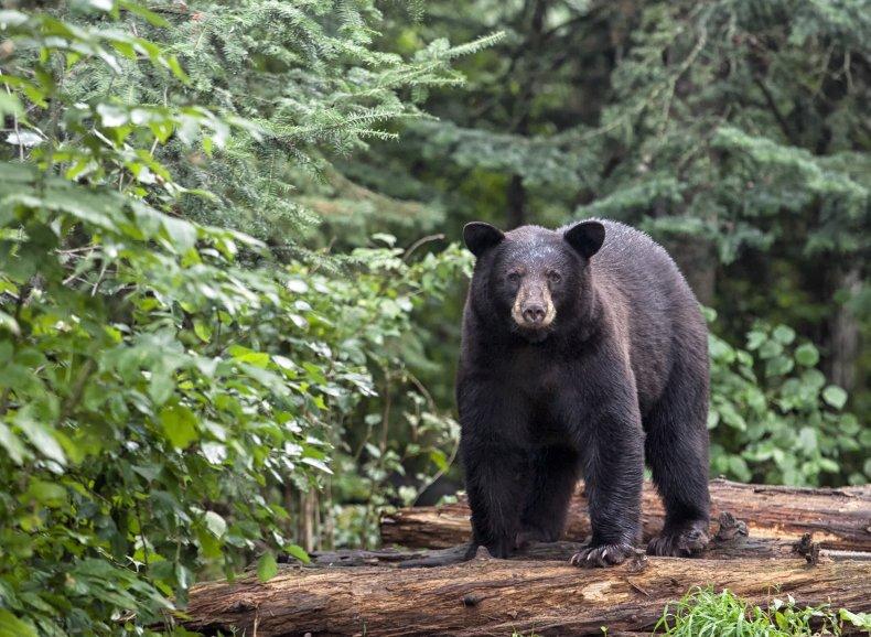 A black bear in northern Minnesota