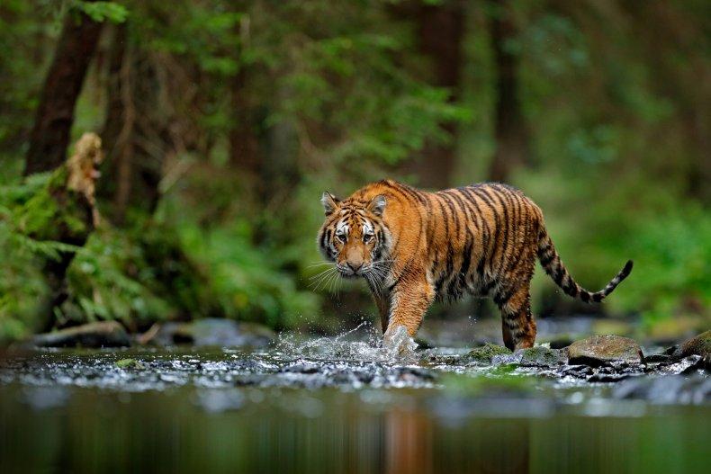 tiger walking pond water