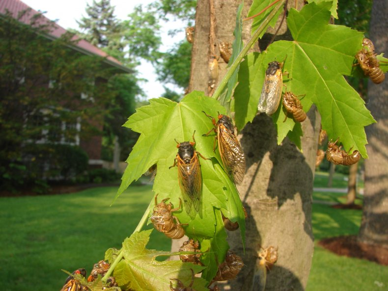 Cicadas covering a tree's leaves