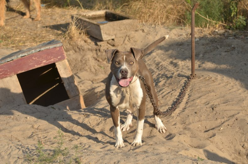 north carolina dog attack, pitbull, stock, getty