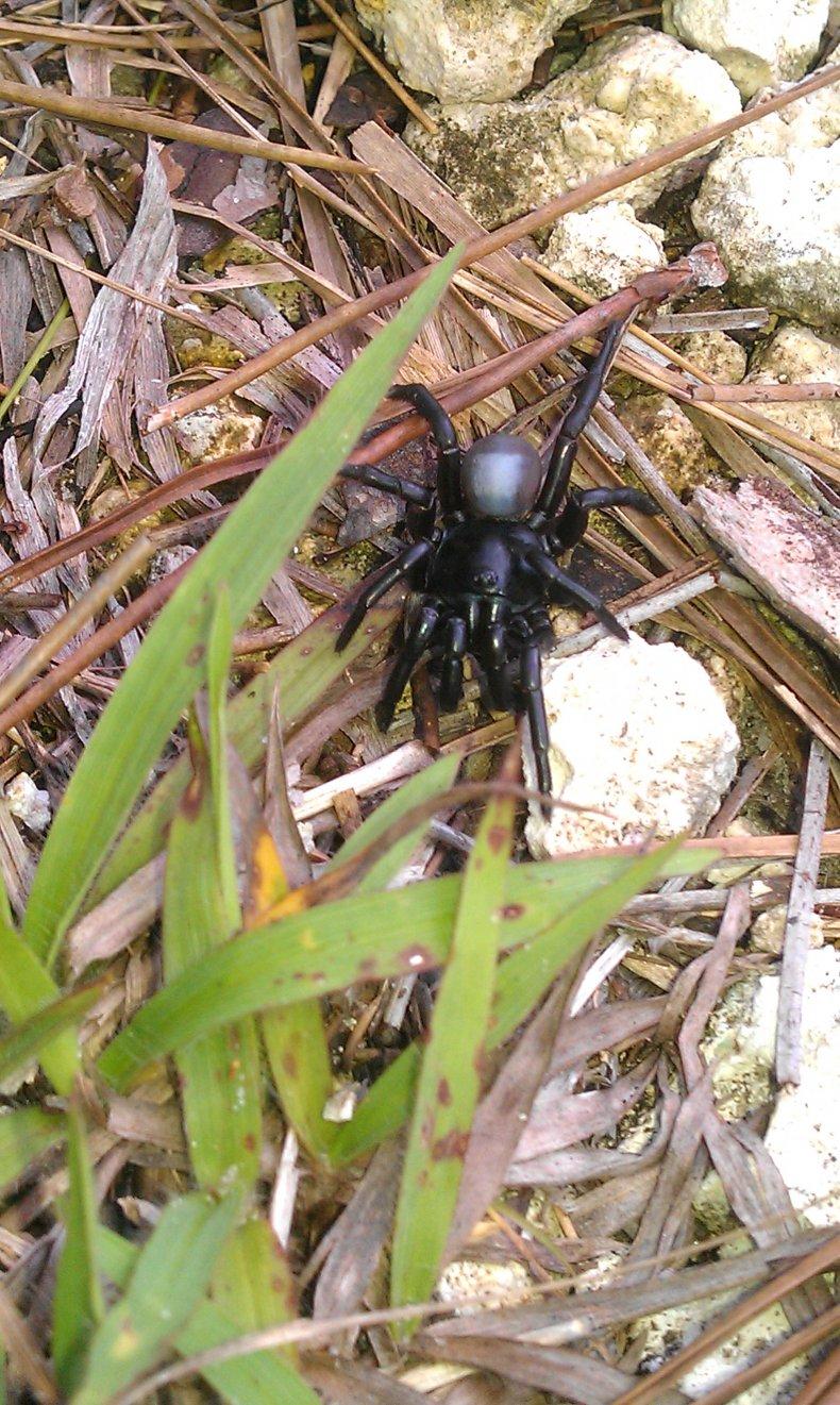 An endangered Pine Rockland trapdoor spider