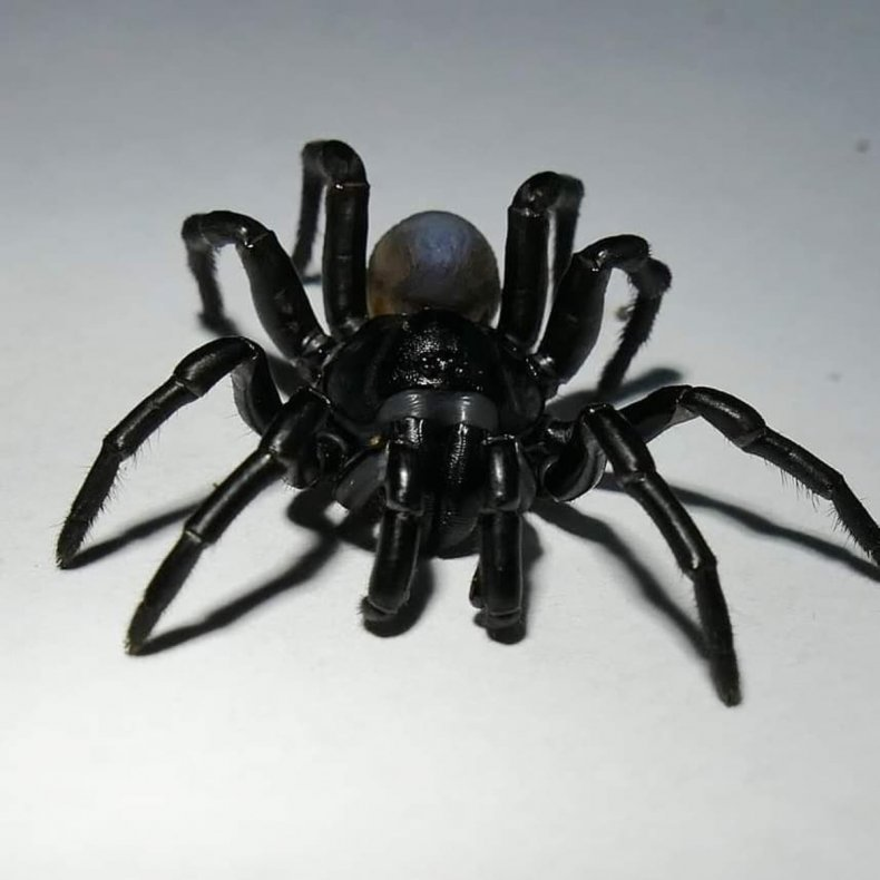 A male Pine Rockland trapdoor spider