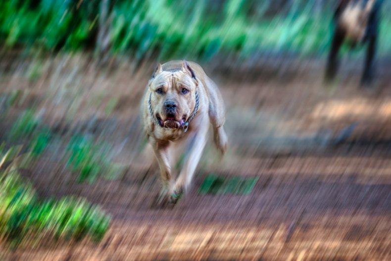 north carolina dog attack pitbull, stock, getty
