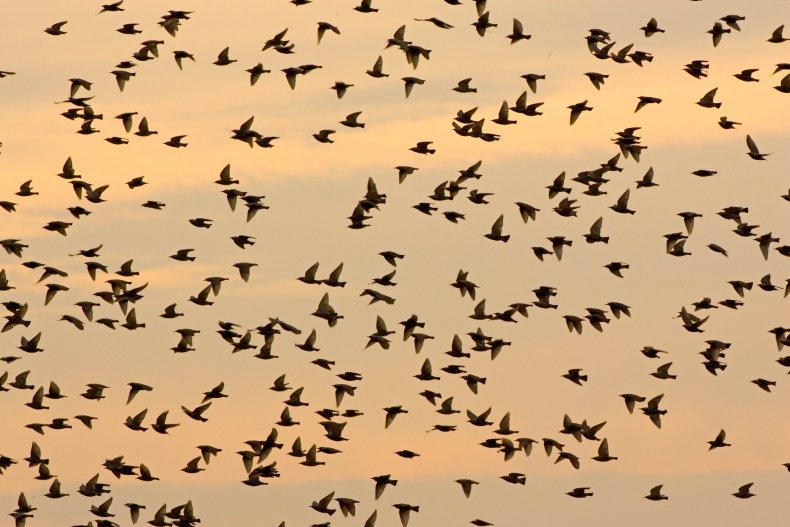 Starlings Migrating in the UK