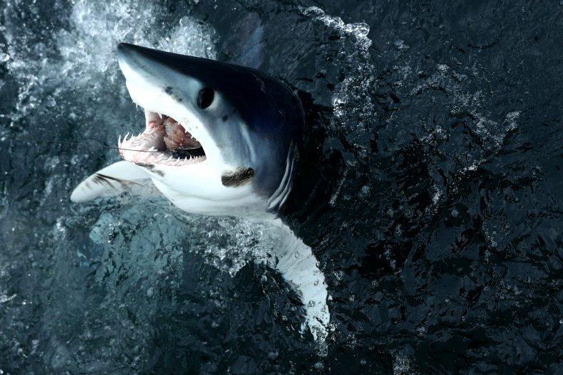 Shortfin mako shark breaches.