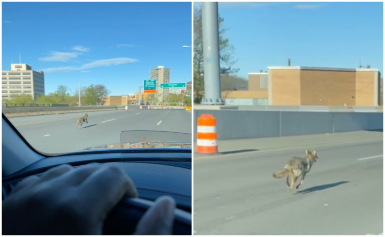 Coyote Running on CT Highway