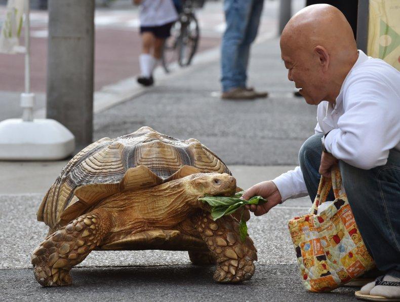 Giant Tortoise Japan Viral Video TikTok Bon-chan
