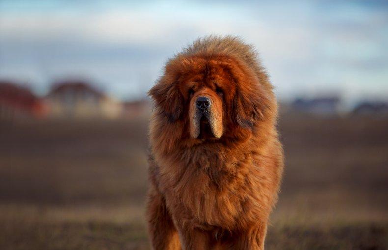 Stock image of a Tibetan Mastiff