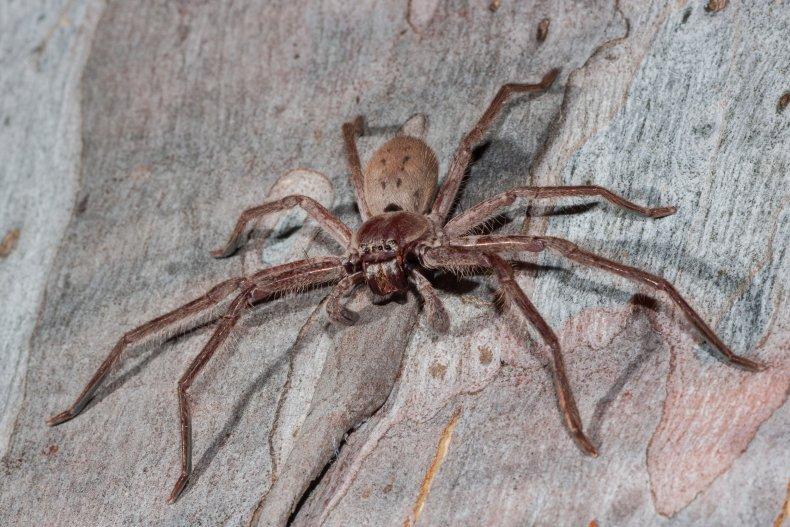 stock image of a huntsman spider