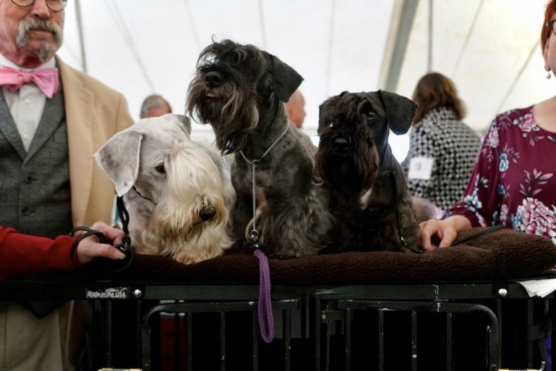 Cesky Terriers at Crufts 2018