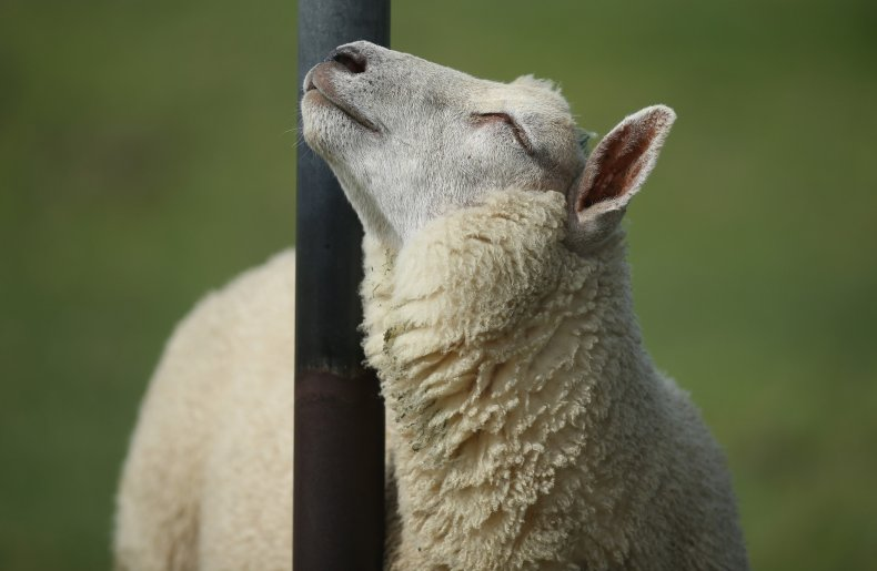 A sheep in Germany