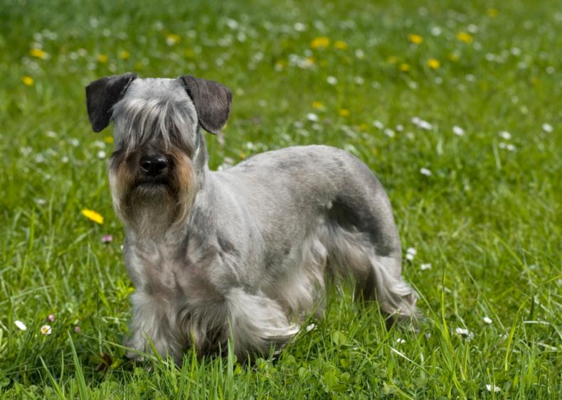 #44. Cesky terriers