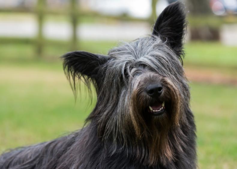 #43. Skye terriers