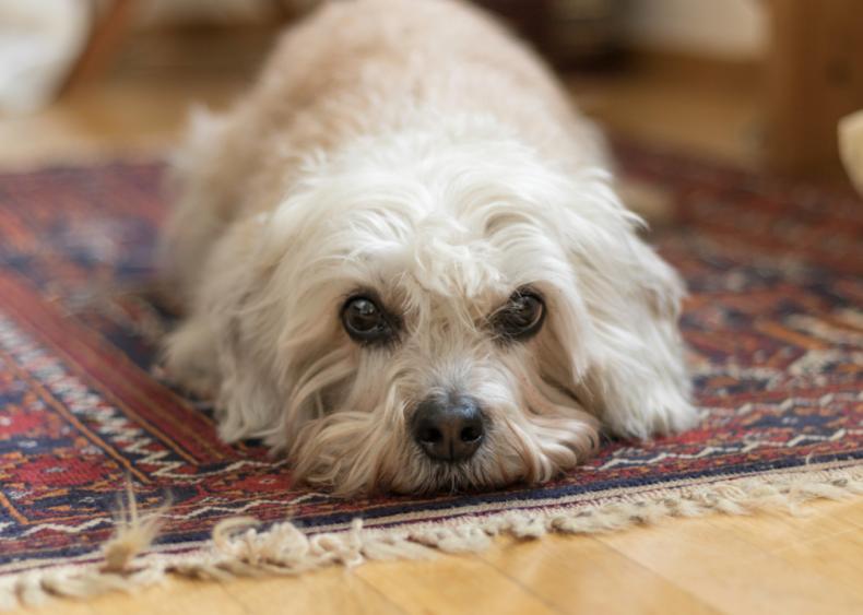 #42. Dandie Dinmont terriers