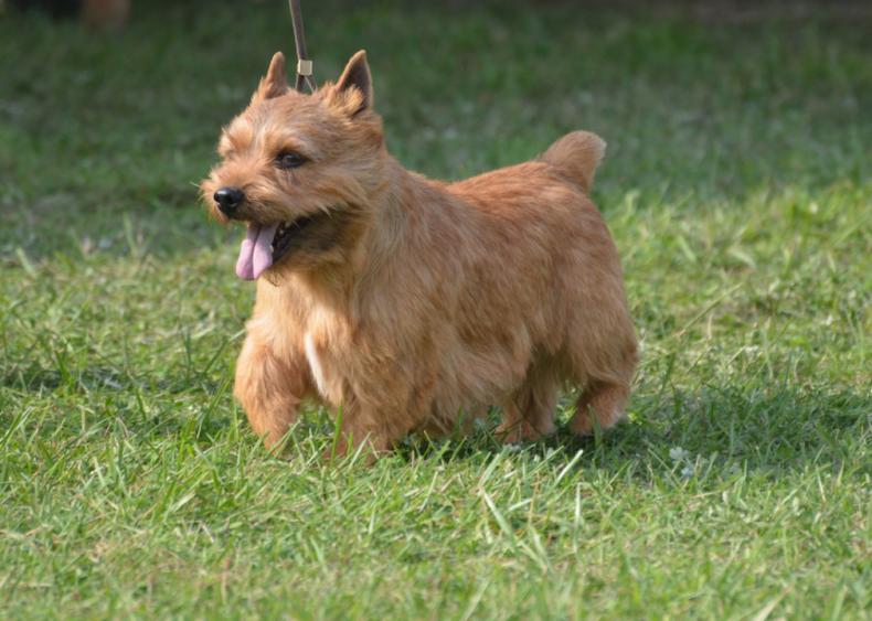 #40. Glen of Imaal terriers