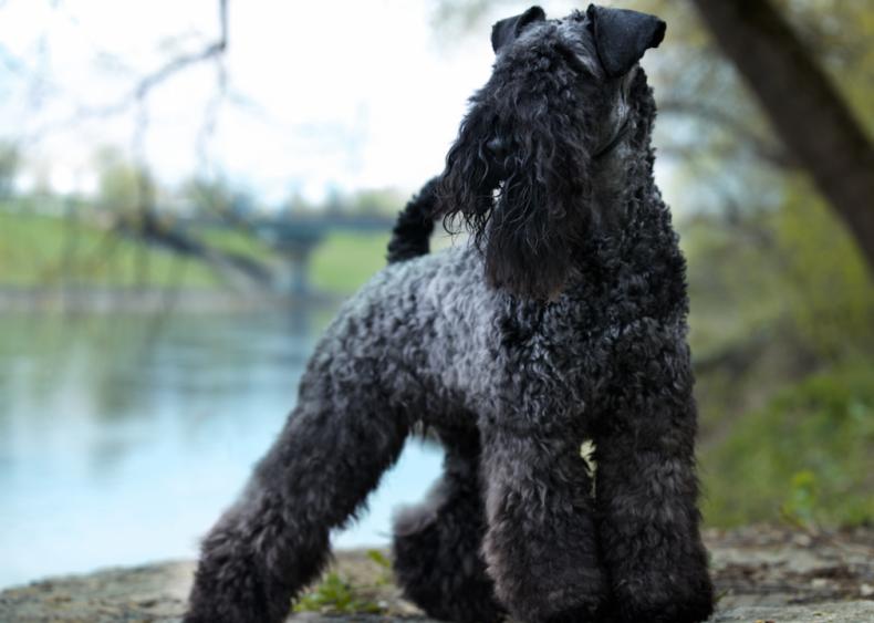 #32. Kerry blue terriers