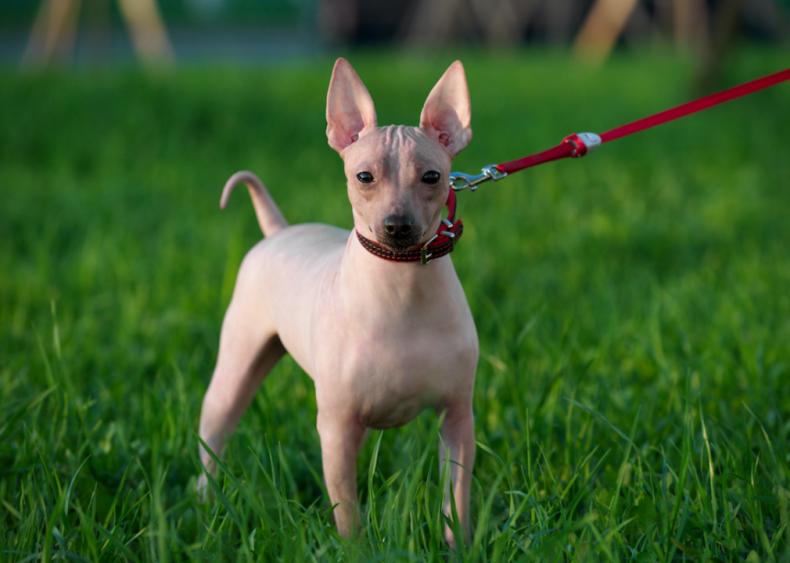 #29. American hairless terriers