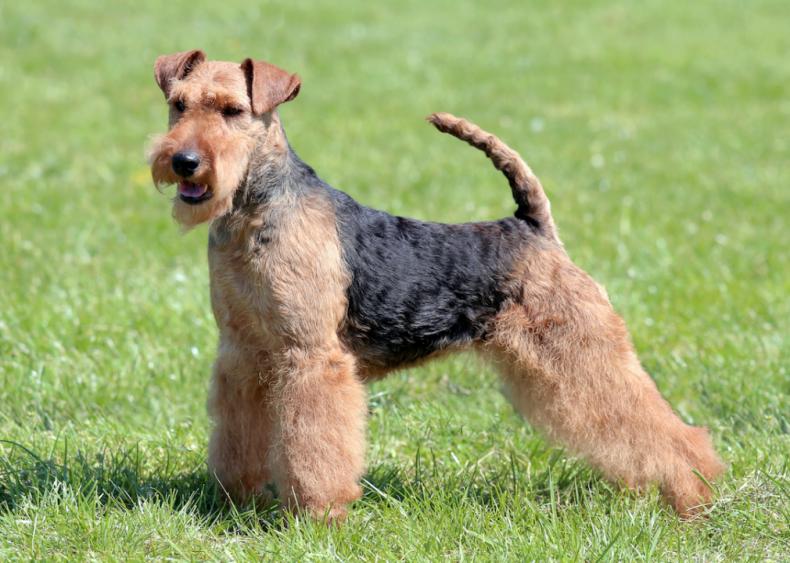 #28. Welsh terriers