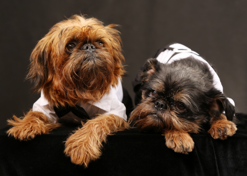 #23. Brussels Griffons