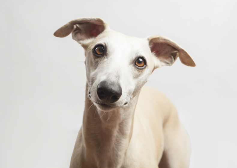 #15. Whippets