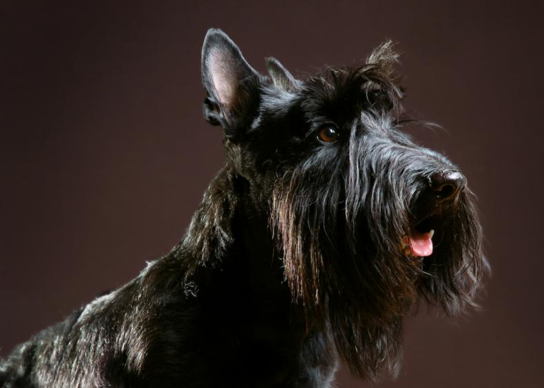 #13. Scottish terriers